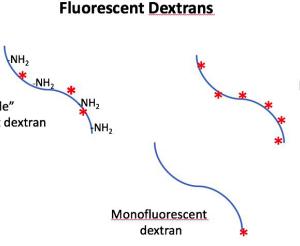 Fluorescent Dextrans